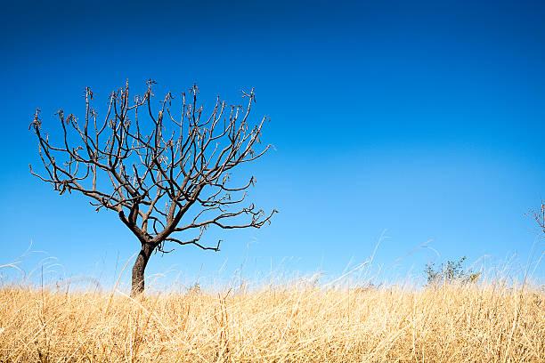 Dry brasileiro Savannah ou Cerrado árvore - foto de acervo