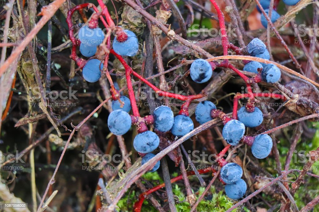 Tiny dry bright blue berries on red branches of wild grapes. Winter...