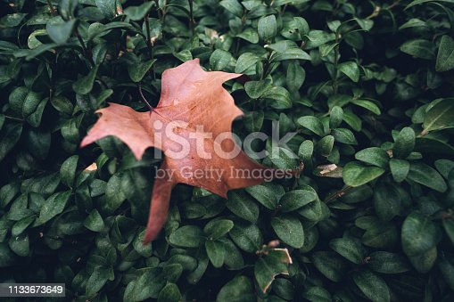 Colour and concept opposition between old, brown, death leaf versus young, green, live leaves
