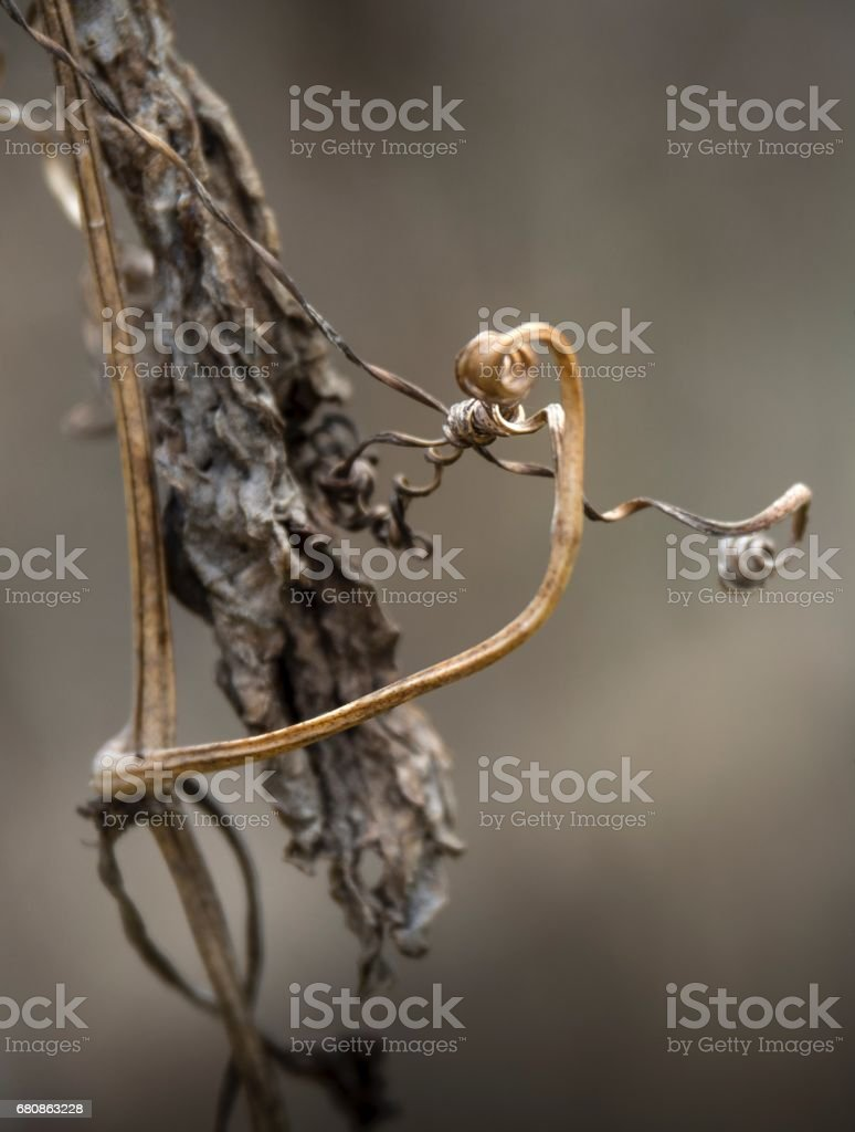 Dry Brown Creeping Plant  In Summer royalty-free stock photo