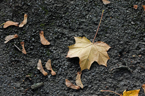 Dry brown leaf of Norway maple on asphalt path stock photo