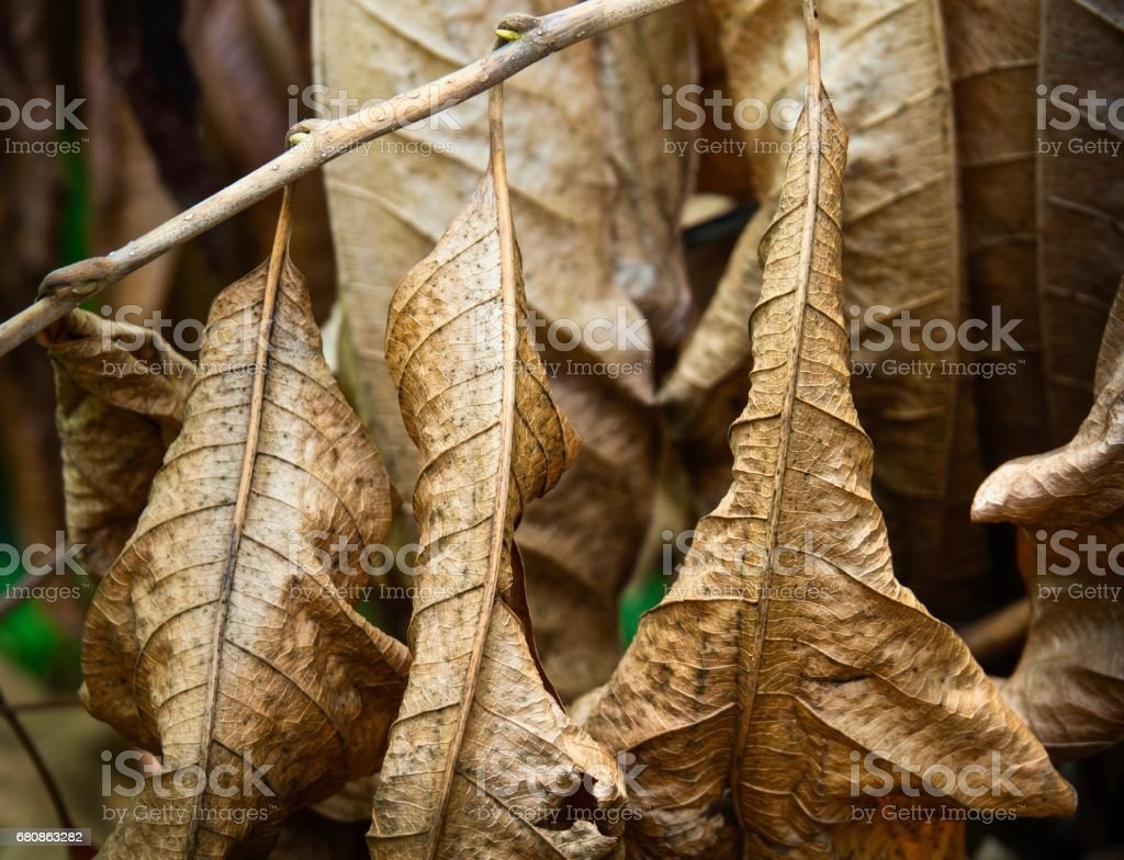 Dry Brown Leaves In Summer royalty-free stock photo