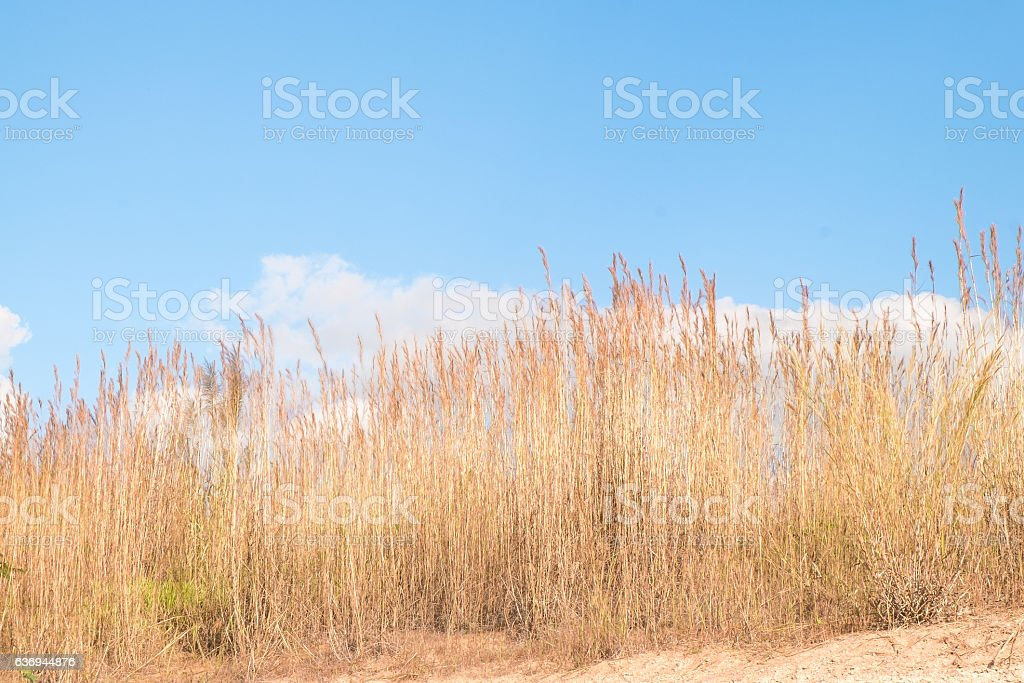 dry brown reeds against blue sky stock photo