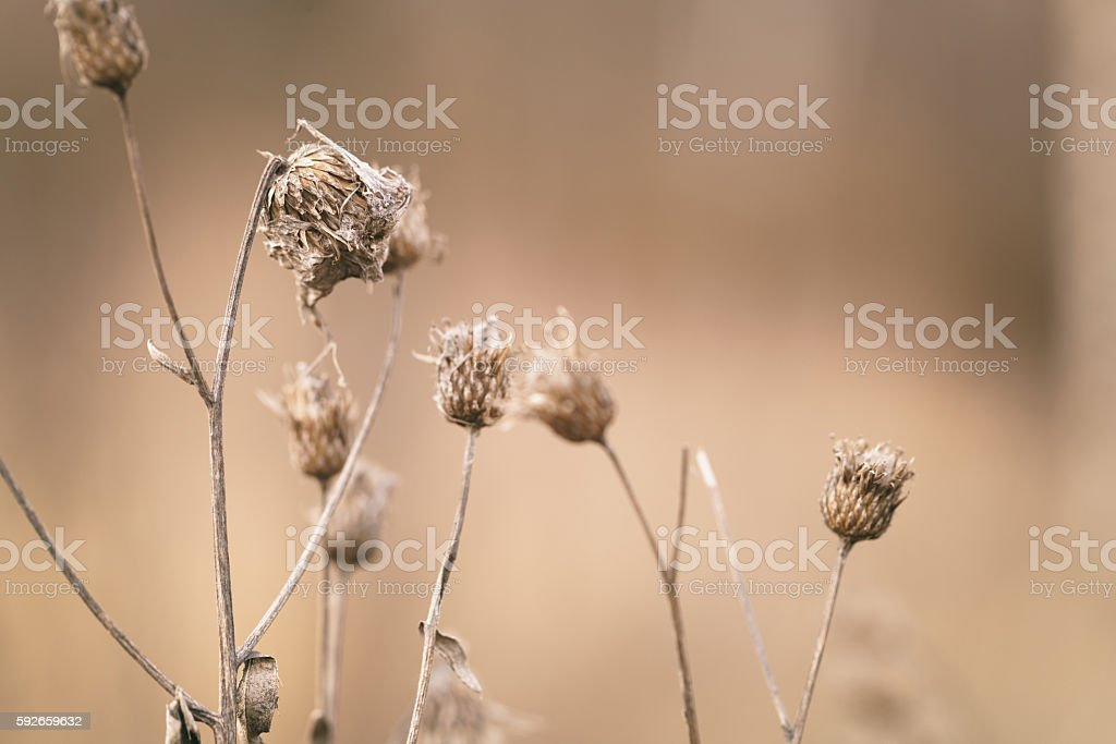 dry bur grass on rural field in early spring stock photo