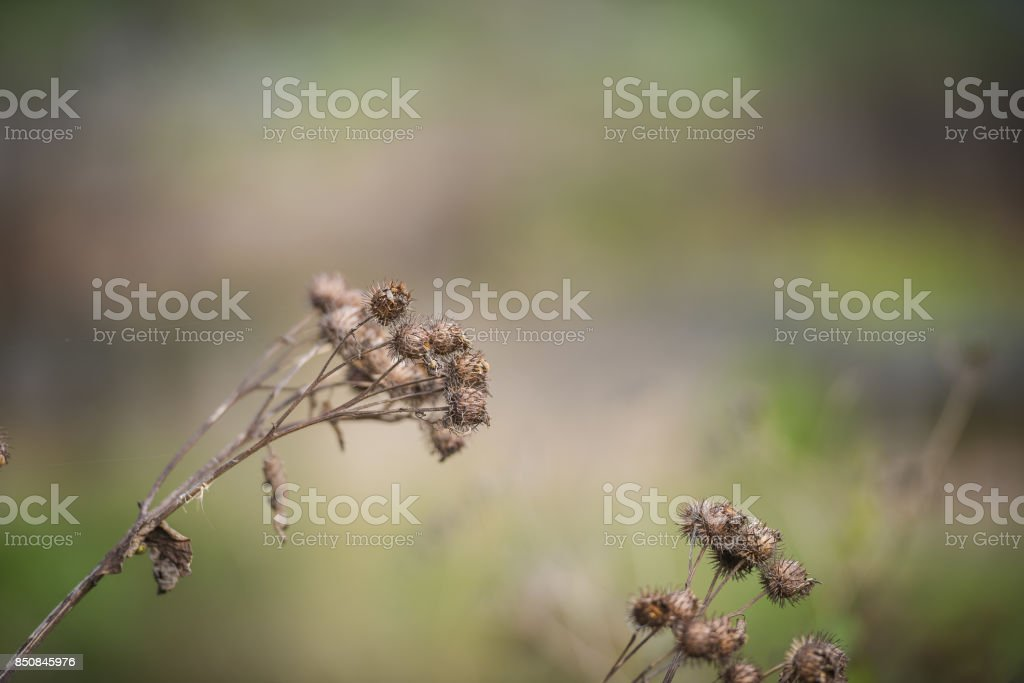 dry bur grass on rural field in early spring, shallow focus. stock photo