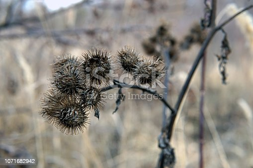 Dry burdock flowers in late autumn close up