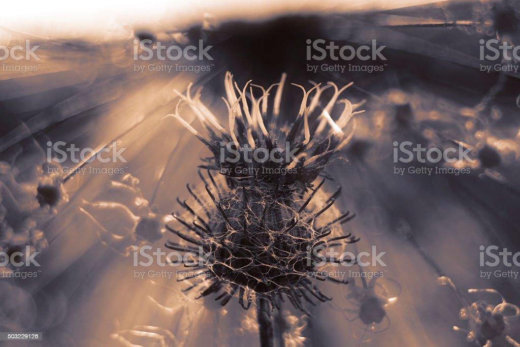 Dry burdock macro in forma di silhouette al tramonto. - foto stock