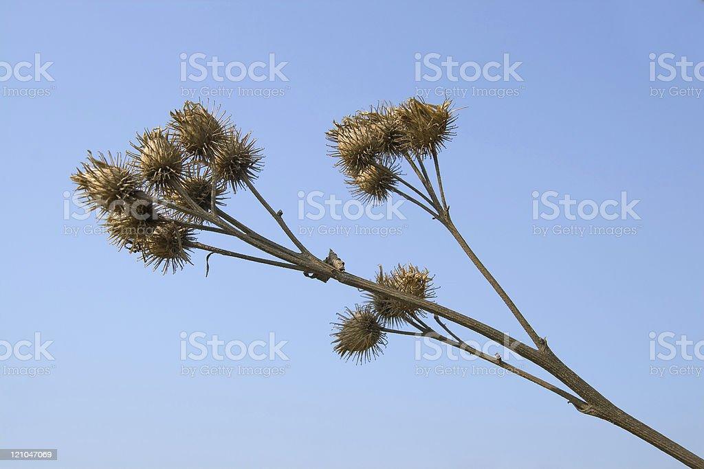 Dry burdock stock photo