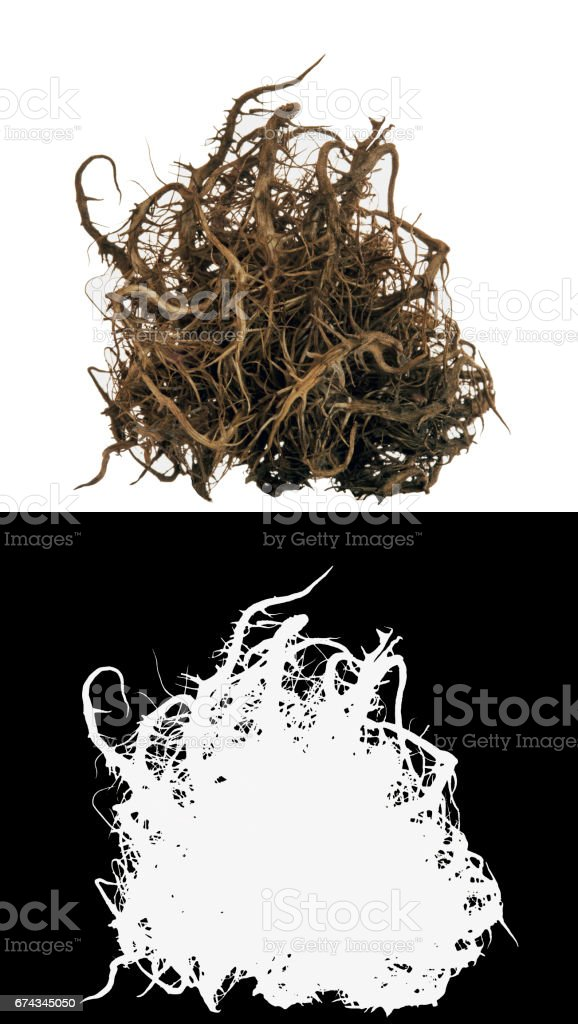Dry bush root stock photo