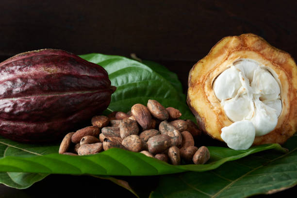 Dry cacao seeds stock photo