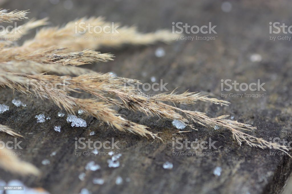 Dry calamagrotis on wooden table stock photo