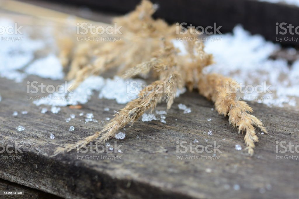 Dry calamagrotis plant stock photo
