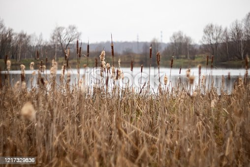 Dry cattails grow in the lake. Nature scene