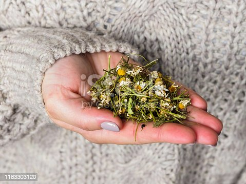 Dry chamomile in the hands of a girl. Chamomile for brewing tea. Method of treatment with folk remedies..