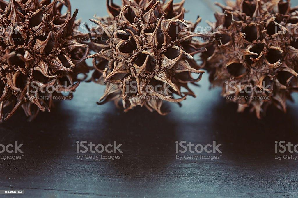 Dry Chestnut Shells royalty-free stock photo