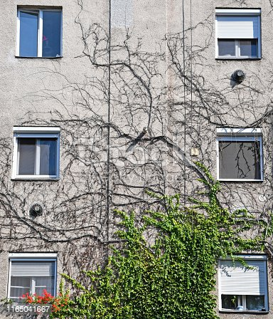 Dry climbing plants on the wall of a building