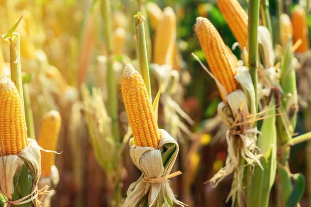 dry cob of ripe corn on green field at sunlight. - milho imagens e fotografias de stock