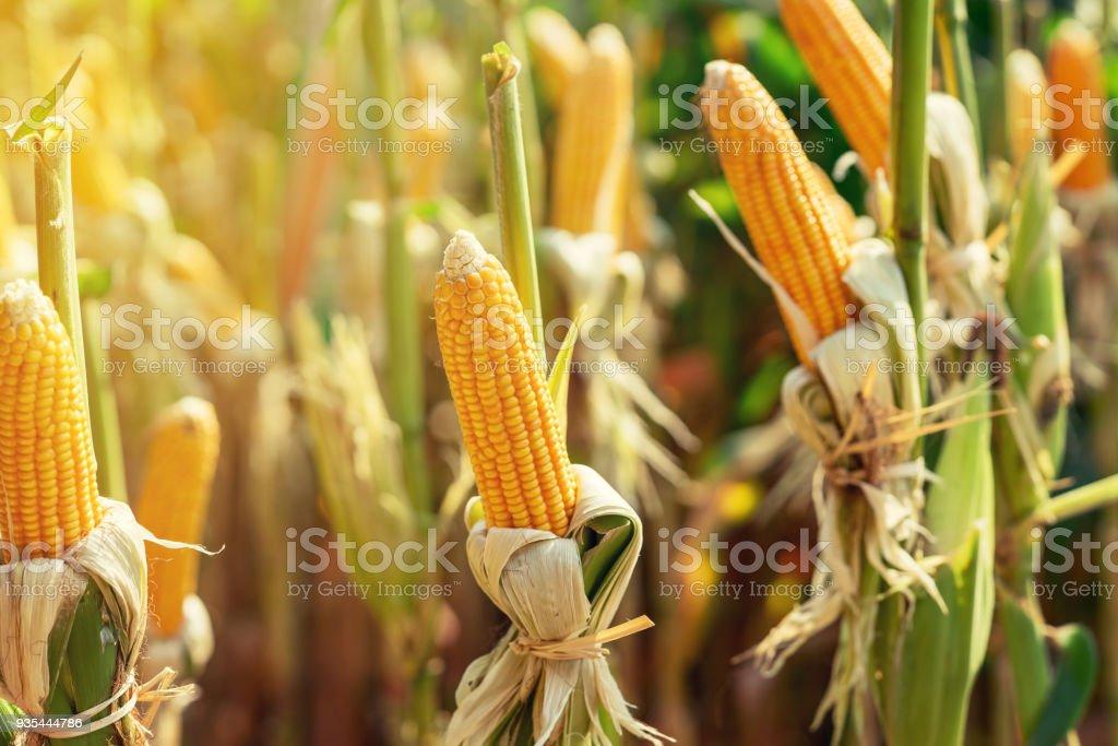 Mazorca seca de maíz maduro en campo verde en la luz del sol. - foto de stock