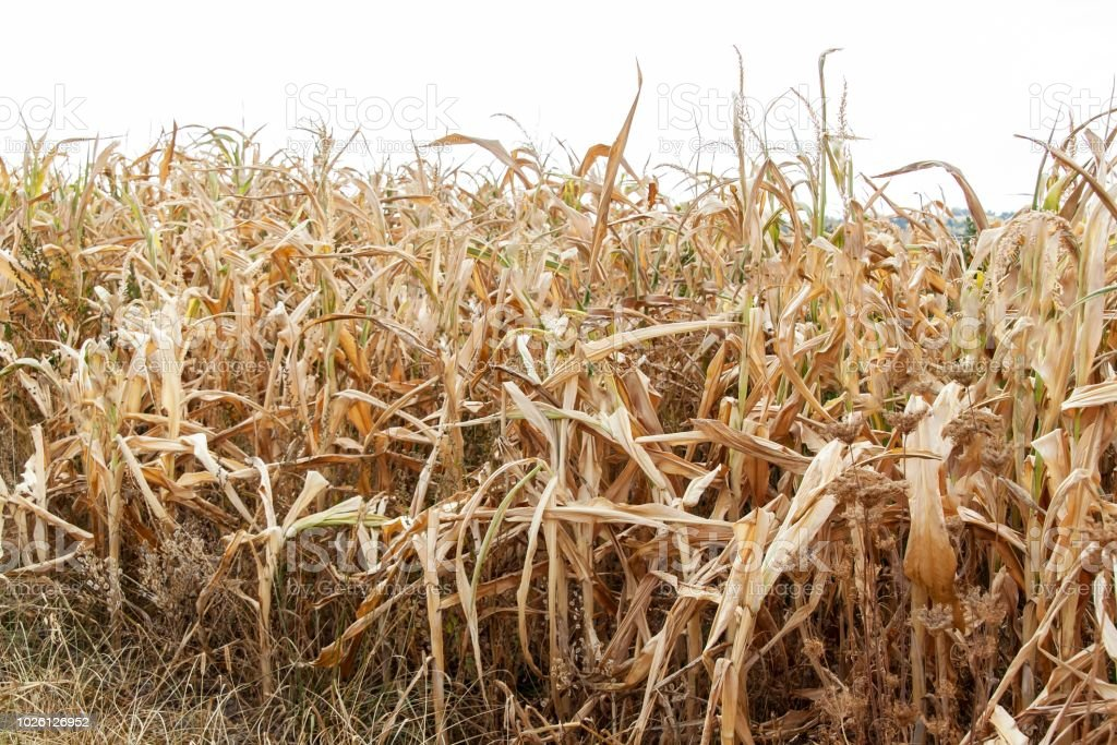 Dry corn field. Hot summer day. Lack of rain. Dry farm. Climate...