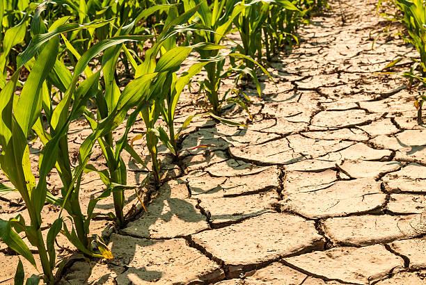 dry corn field – Foto