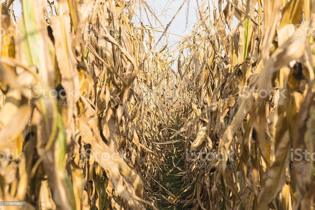 Dry corn stalks stock photo