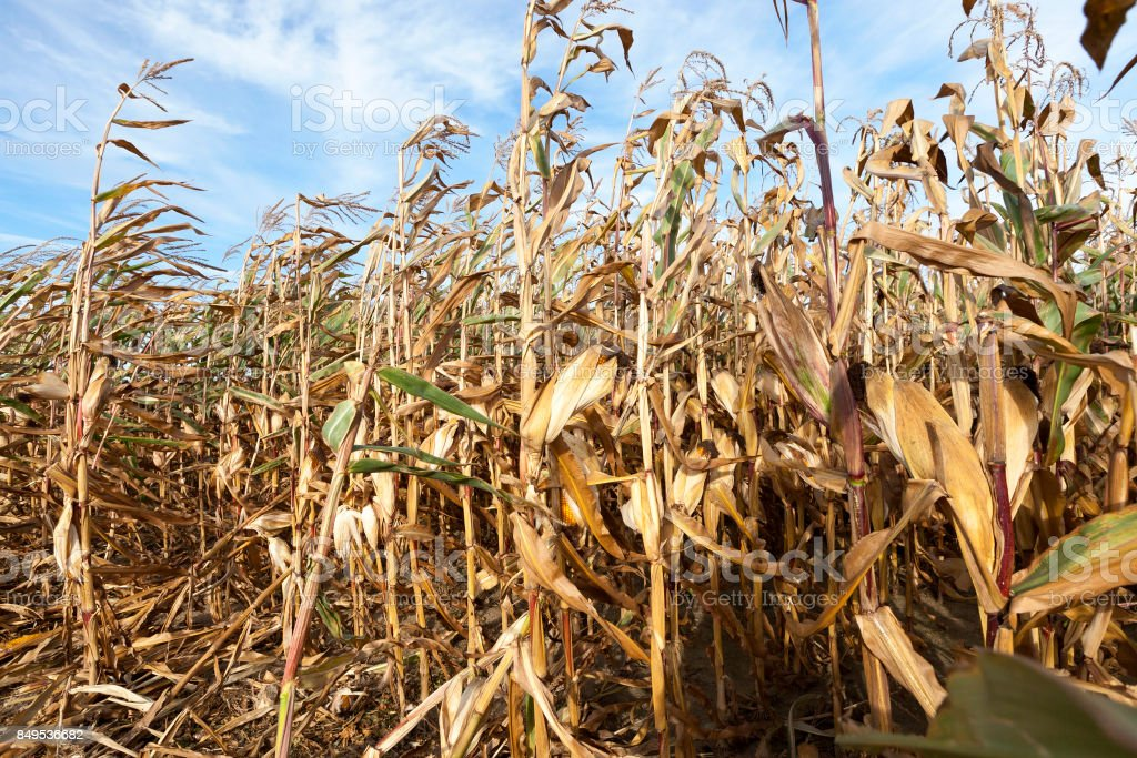 dry corn stalks stock photo