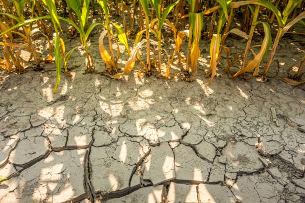 dry cornfield stock photo