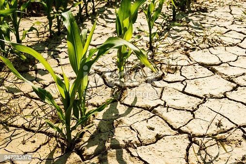 istock dry cornfield 947283378