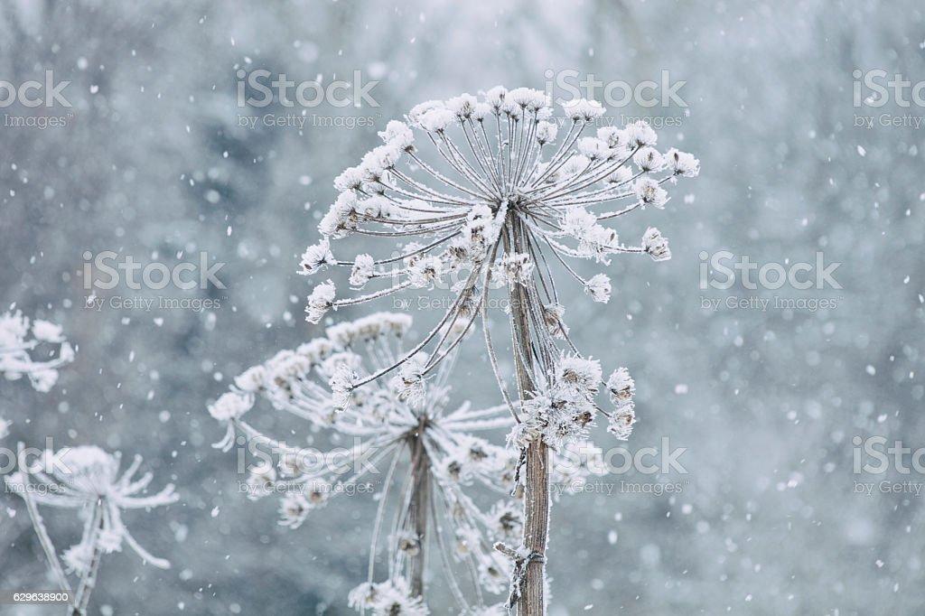 Dry cow parsnip, snow. Winter foto
