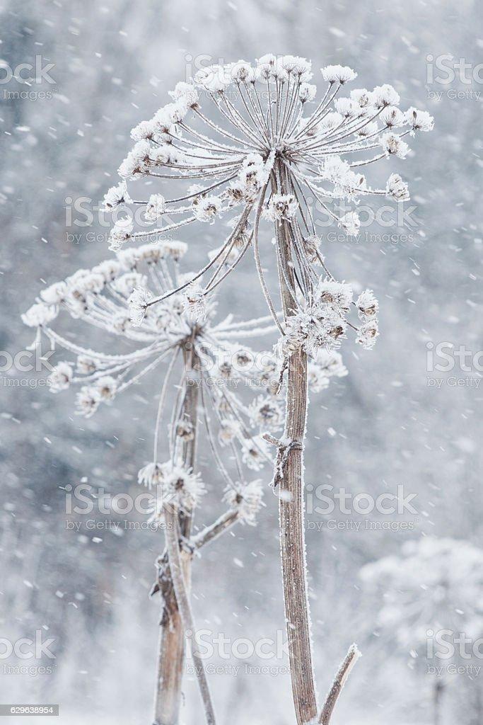 Dry cow parsnip. Winter, snow foto