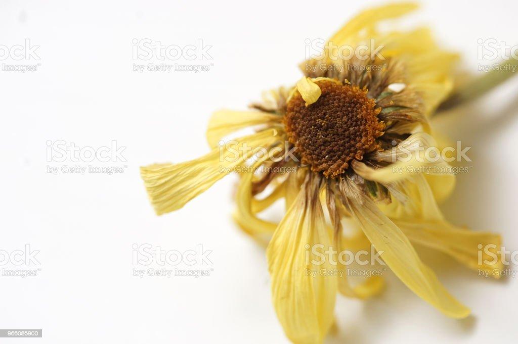 dry daisy - Стоковые фото Без людей роялти-фри