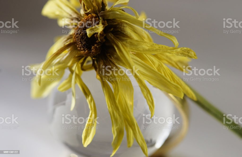 droge daisy - Royalty-free Asteroideae Stockfoto