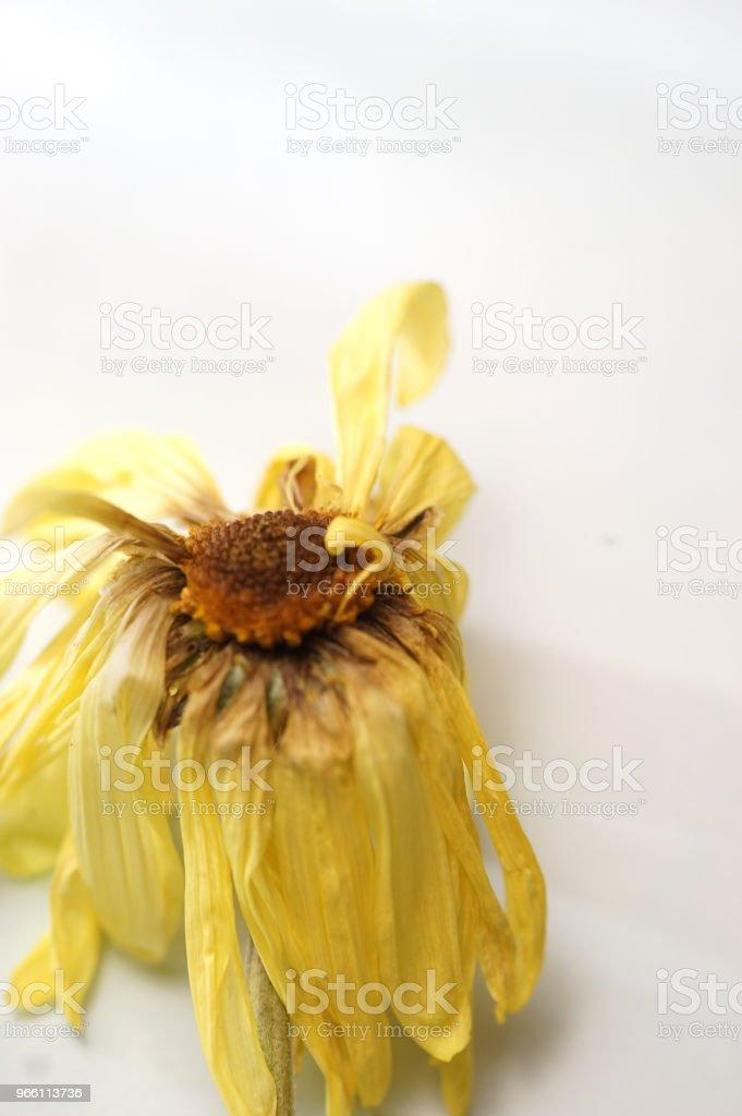 torra daisy - Royaltyfri Blomkorg - Blomdel Bildbanksbilder