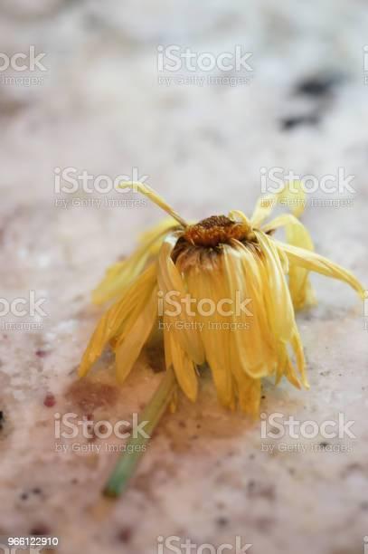Trockenen Daisy Stockfoto und mehr Bilder von Abgestorbene Pflanze
