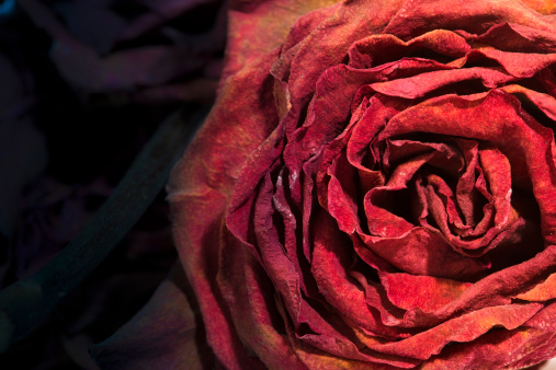 Old Dusty Rose. May use this flower shot like background