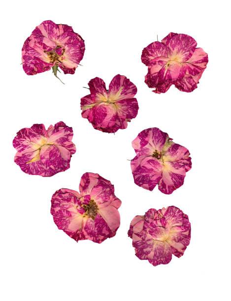 白で隔離繊細なバラの押し花を乾燥します。 - 押す ストックフォトと画像