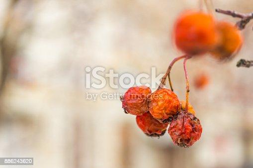 istock Dry dried berries rowan on a close-up branch - macro photo 886243620