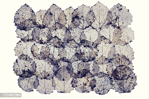 Dry dried leaves leafs skeleton background