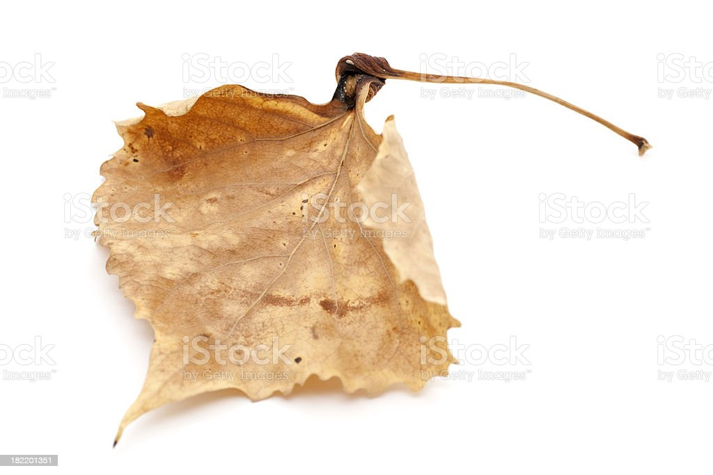 dry fallen cottonwood leaf royalty-free stock photo