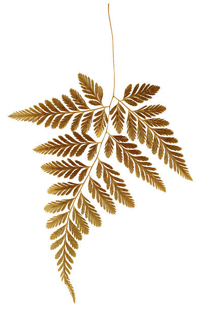 Dry Fern Leaf Dry Fern Leaf on White Background dried plant stock pictures, royalty-free photos & images
