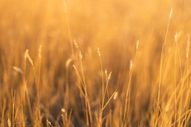 dry fescue grass field at sunset stock photo