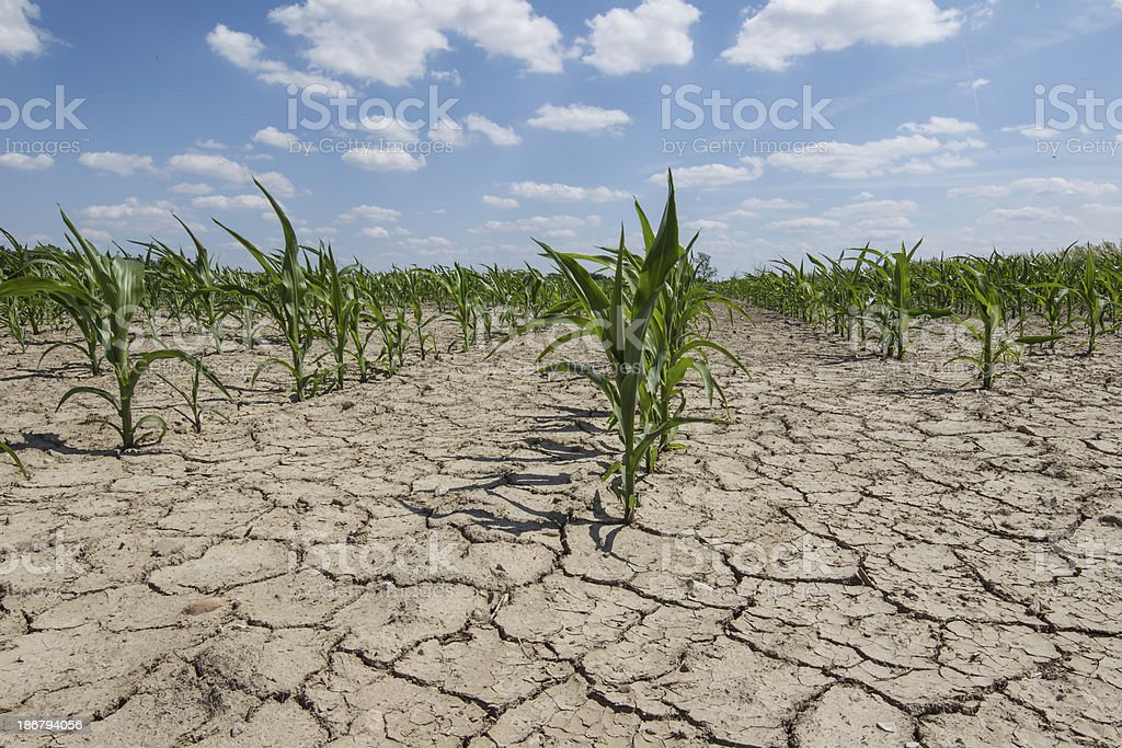 dry field dry corn field with young corn plants Acre - Brazil Stock Photo