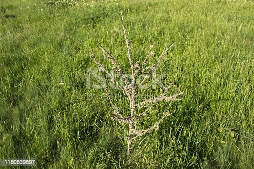 Dry donkey thorn on a background a grass.