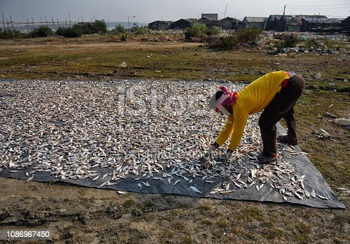 People from fishing background are in a process of making Dry Fish at the Coastal area of Bengal , India . Digha is one of the biggest export market in the Coastal area where Dy fish processing are happening through out the year except the monsoon time .
