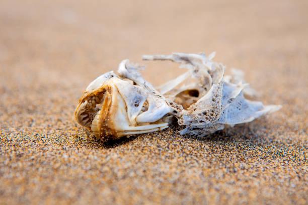 Dry fish skull on the beach sand - Fuerteventura stock photo