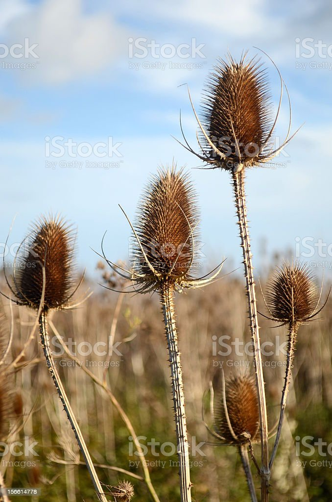 Dry flower in a field royalty-free stock photo