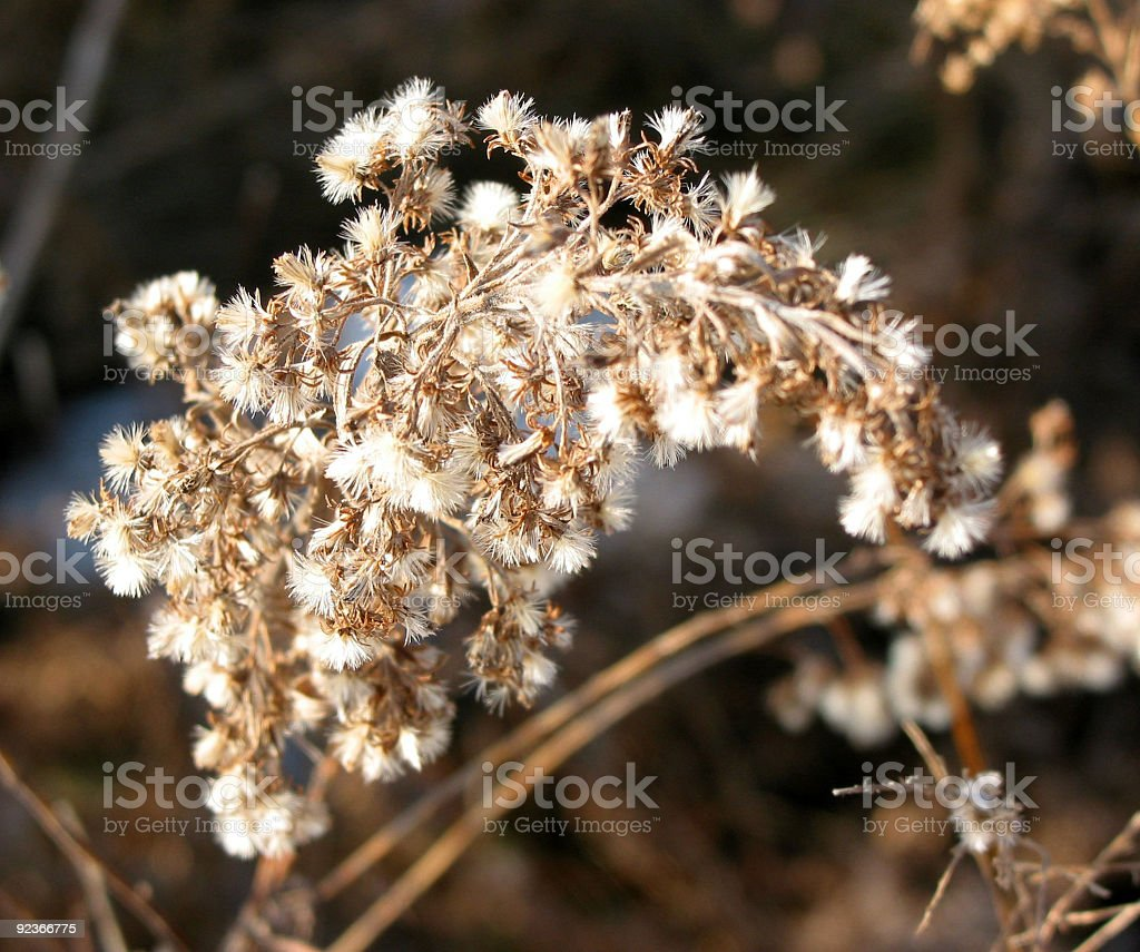 Dry flower in winter royalty-free stock photo