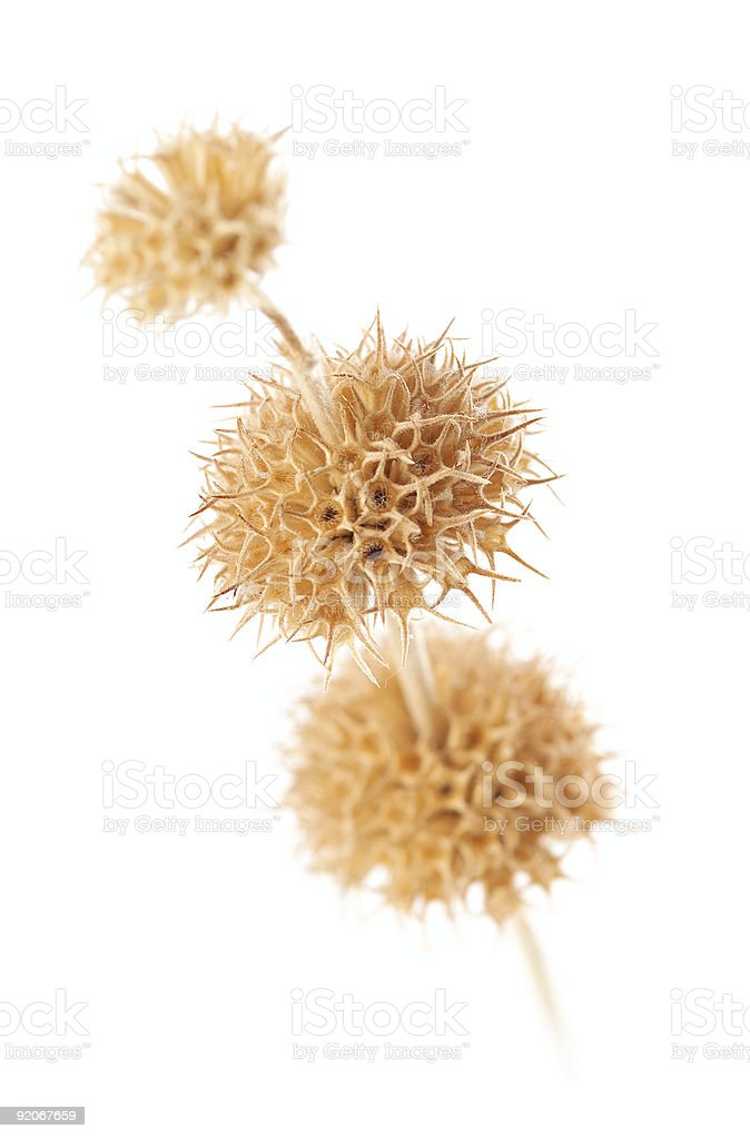 Dry flower isolated on white background4 royalty-free stock photo