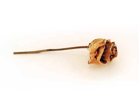 Dry flower of a rose isolated on a white background Herbarium, a reminder of the romantic evening, nostalgia