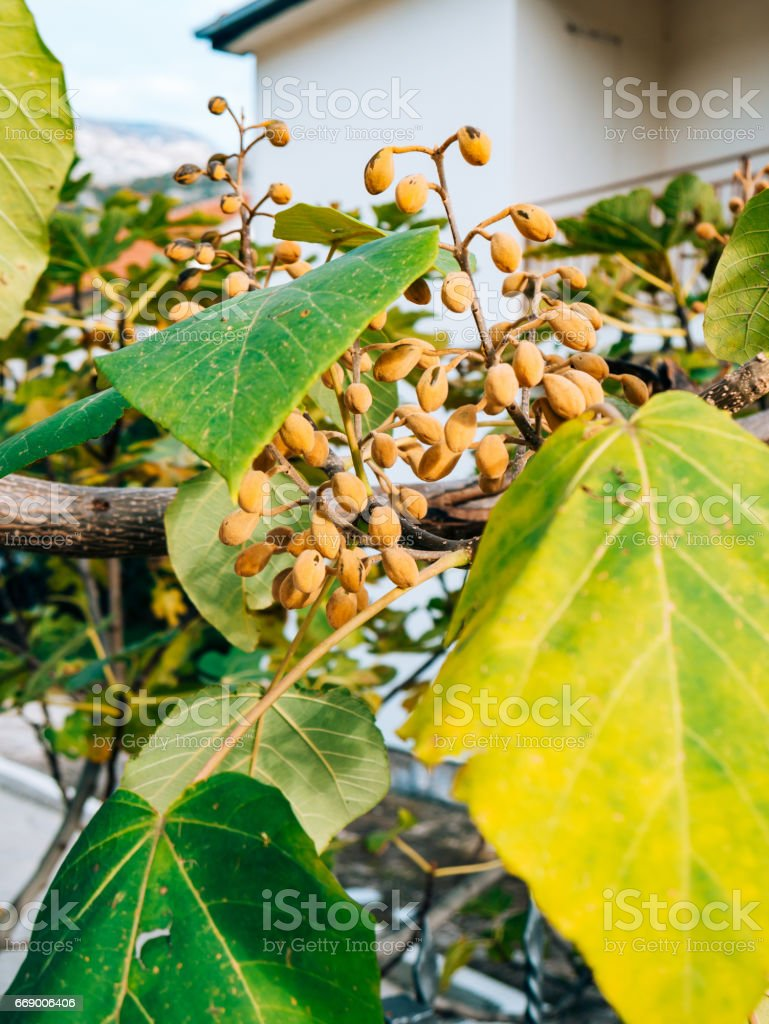 Dry flowers Catalpa on a tree, in the autumn. Plants of Monteneg stock photo